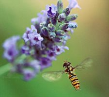 hoverfly by violetkitty92