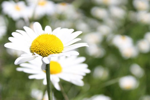 marguerites by frimmi