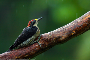 Wet black cheecked woodpecker by wildroseblossom