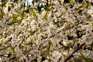 Blossoming tree by theartofmike