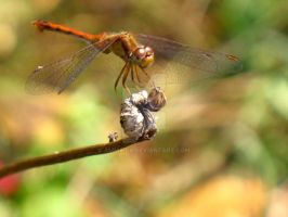 Perched Dragonfly by ammaira