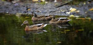 Female Mallards by S-H-Photography