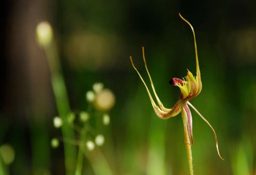 Forest Mantis Orchid 2 by MrOysterhead