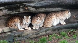 Three Lynx in a log by Phlox73