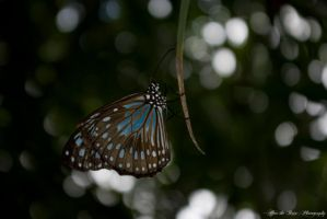 Stunning Blue Tiger Butterfly by CuriouserX10