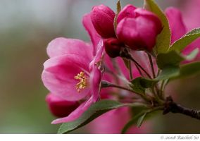 Pink Crabapple Green by butterfly36rs