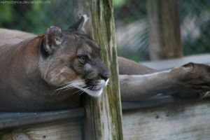 Florida Panther I by remadance