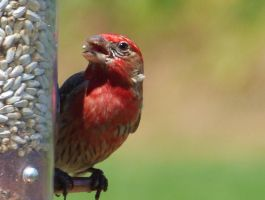 Male House Finch by AppleBlossomGirl