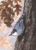 Birthday Nuthatch by emla