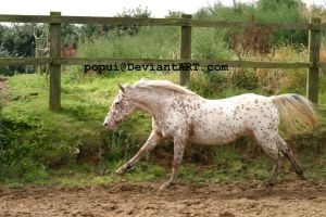 appaloosa pony11_stock by popui