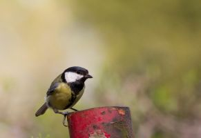 German tit by Kriloner