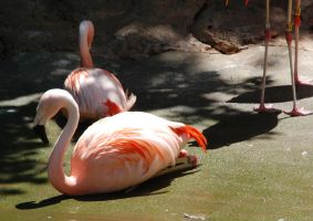 Phoenicopterus chilensis : Chilean flamingo 05 by lumibear