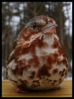 Fox Sparrow 9 by DeviantLadyAshley