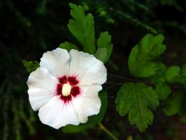 Rose of Sharon by peterkopher