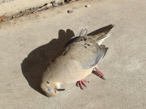 Mourning a Dove by jadieladie