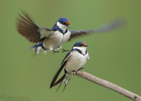An Ambush of Swallows by MorkelErasmus