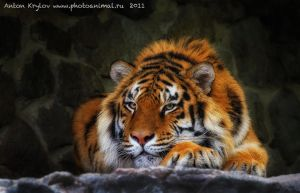 Photo Session with Tiger 5 by Jagu77