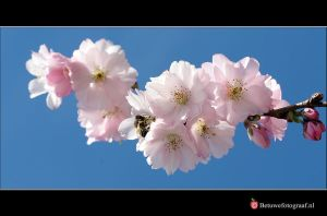 My First Blossom this year by Betuwefotograaf