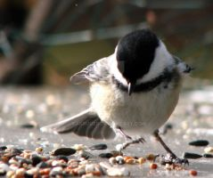 Chickadee Dancer by KAKruger