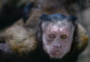Tufted Capuchin by Dr-Koesters