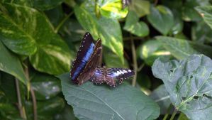 Butterfly VI by PamplemousseCeil