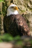 Bald Eagle #01 by vetchyKocour