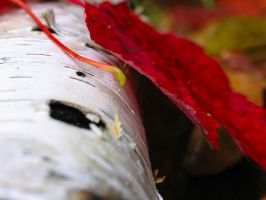 red autumn leaf by sataikasia