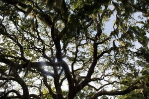 Tree with Spanish Moss(stock)4August 21, 2013 by RustedScrapMetal