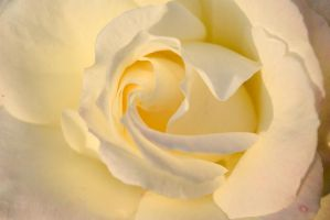 White Rose by HoffisSister