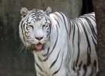 White Tiger Smiles by Jack-13