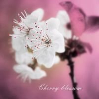 Cherry blossom by ironicna