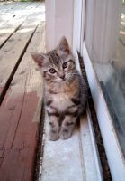 Thick-striped kitten up close by Ripplin