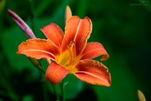 tiger lily by Echo1034