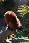 Red ruffed lemur by rickster1981