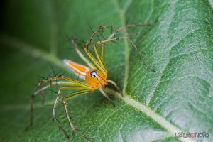 Lynx Spider by Anrico