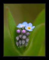 Forget-me-not by Audhild
