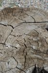 Texture : old cut trunk by A1Z2E3R