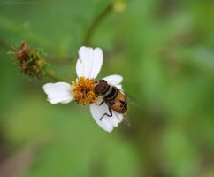 Syrphid Fly by DracoFlameus