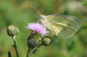Cabbage White by Leavylaulada