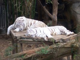 White Tigers by conefloweradams