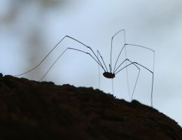 Harvestman 20D0021989 by Cristian-M