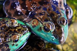 Froggy Love by josgoh