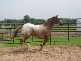 Red Roan Appaloosa 2 by scenic-desires