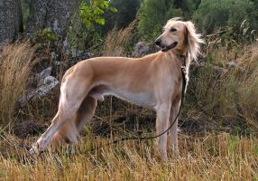 Sunnyboy The Saluki by eljakim