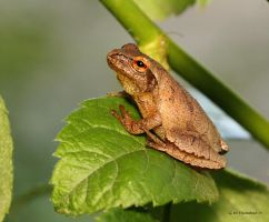Tree Frog I by natureguy