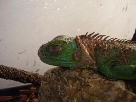My Iguana sleeping by Eejit13
