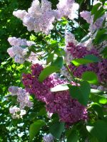 purple and pink lilacs. by crazygardener