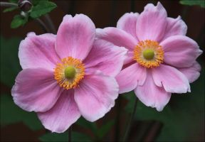Japanese Anemones by Firey-Sunset