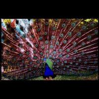 Peacock by kpadda