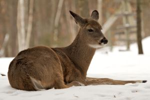 whitetail at rest by GreyVolk